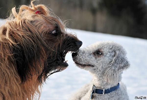 bearded collie valper til salgs